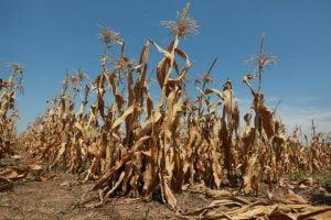 Ilustracija, foto: blog.ucsusa.org / Kansas Drought Corn